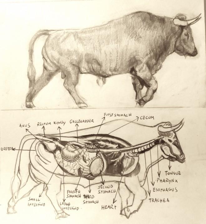 ANATOMY OF THE FIGHTING BULL | Bullfight Tickets Madrid